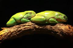 Sleepy Buddies (sparkleshots (trying to catch up)) Tags: nature canon wildlife australia frog nsw 70300mm gosford australianreptilepark canonllens whitelippedtreefrog