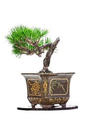 Hayabusa 6-24-12 (fredtruck) Tags: bonsai stitched hdr nikond90 corkbarkblackpine afsvrzoomnikkor70300mm adobephotoshopcs5