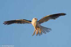 White-Tailed Kite - IMG_3813 (arvind agrawal) Tags: california bird wildlife hunting raptor paloalto bif birdinflight whitetailedkite elanusleucurus astradero