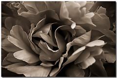 Flower (sergio.pereira.gonzalez) Tags: flower macro blancoynegro fleur photoshop blackwhite noiretblanc flor lightroom canon400d sergiopereiragonzalez httpfocale3fr