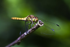 common darter (Alchimi) Tags: macro fly dragon wwt darter alchimiae