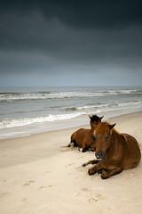 wild horses (dK.i photography) Tags: wild beach dawn sand surf ponies resting oceancity assateagueisland atlanticocean canon5dmkii singhrayrgnd ef1740f40lusm