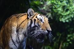 Panthera tigris altaica (young male) (mcullenphoto) Tags: portrait cat big nikon tiger 85mm siberian nikkor tigris afs amur d800 panthera altaica f14g flickrbigcats