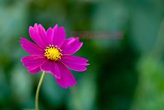 cosmos (helluvastar) Tags: flower green yellow purple bokeh lila gelb grn cosmos alleinstellungsmerkmal uniquefeature helluvastar