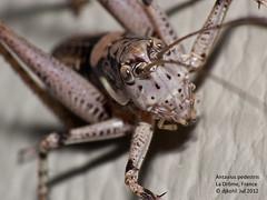 F1120002-Bush cricket (Antaxius pedestris) (DJHiker) Tags: france macro insect grasshopper frankrijk sprinkhaan rhonealpes drôme raynox dmcfz50 antaxiuspedestris