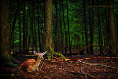 The Deer Hunter (Ronaldo F Cabuhat) Tags: life travel trees light wild vacation usa inspiration ny newyork green art texture love nature beautiful beauty animal forest canon landscape mammal photography interesting shadows natural image candid wildlife unitedstatesofamerica picture adirondacks explore handheld upstatenewyork fallowdeer wilderness lovely fallow inspiring speedlite thedeerhunter canonspeedlite580exii canoneos5dmarkii cabuhat flickrhivemindgroup canon24104f4lisusm