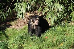 Spectacled Bear (Zamora) (scara1984) Tags: zoo antwerp 10102010 scara1984