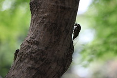 - (eyawlk60) Tags: summer favorite tree japan canon cicada garden eos japanese shrine   5d nippon cicadas lightandshade    satatenjingu