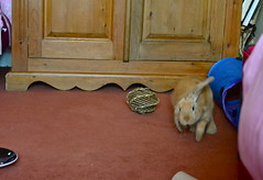 Is it a bird? Is it a plane? NO, IT'S MYLO! (mylo_rabbit) Tags: pet baby cute rabbit bunny bunnies love face animal nose ginger furry friend funny expression lol adorable handsome fluffy ears run cheeky whiskers rabbits paws olympics companion hehe facial lapin mylo actionshot houserabbit lop minilop bunnyolympics actionhop