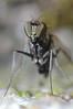 Slankpootvlieg/(Dolichopodidae) Long legged fly (stormchaseroosteeklo) Tags: macro closeup fly eyes small tiny robberfly longleggedfly facets vlieg dolichopodid dolichopodidae roofvlieg mygearandme slankpootvlieg me2youphotographylevel1 unlimitedinsectslevel1