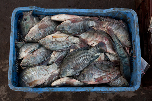 Tilapia in Khulna. Photo by Mike Lusmore/Duckrabbit, 2012.