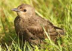 cowbird (Ducklover Bonnie) Tags: cowbird img7656