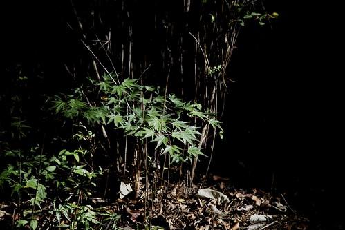 Bamboo ....