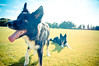 Let's Play! (MakeLifeMemorable) Tags: dogs seven bordercollie sheepdogs sonyaplha55 summerplayingcatch