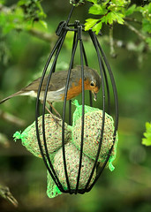 Yum (rosyrosie2009) Tags: uk england nature robin birds photography cornwall wildlife feeder looe westcountry throughthewindow robinredbreast fatballs looebay d5000 tamronaf70300mmf456dildmacro tamron70300mmlens erithicusrubecula nikond5000 rosiespooner rosyrosie2009 rosemaryspooner rosiespoonerphotography