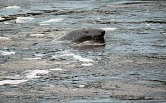 TEES BARRAGE (john holland 1962) Tags: summer river north east seal stockton barrage 2012 tees boro ormesby ts3