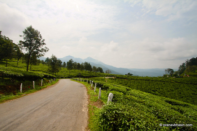 Road Between Tea Gardens At Munnar, Kerala