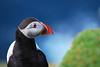 Gli Occhi dei Pulcinella (Wrinzo) Tags: uk summer scotland estate puffin seabirds unst scozia fratercula pulcinelladimare auks shetlandislands hermaness alcids colorphotoaward uccellimarini hermanessnaturalreserve isoleshetland