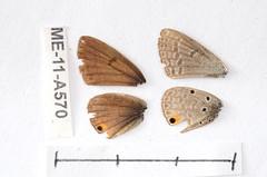 ME-11-A570 Euchrysops katangae (lepdatabase) Tags: zambia lycaenidae polyommatinae polyommatini euchrysops katangae