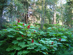 Greenleaf Redberry (Accretion Disc) Tags: sunset red summer plants green alaska forest berry woods berries anchorage shrubbery sandlake