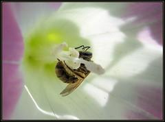 IMG_2951 Wrapped Up In Her Work 8-19-12 (arkansas traveler) Tags: flowers insects bugs macros bichos morningglory masonbee macrolicious bokehlicious naturewatcher