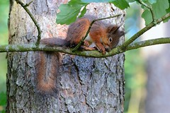JNR_0273 (Zubair-Roved Productions) Tags: forest sweden ekorre redsquirrel halland egern
