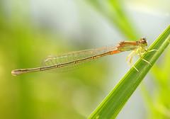 Ischnura asiatica -  - Ajia Itotombo (Yagosan) Tags: macro nature japan closeup insect nikon hokkaido damselfly odonata d300  nikkor105mmmacro ischnuraasiatica nikonsb900speedlight nikonr1closeupspeedlight  ajiaitotombo