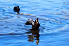 quack quack (George Elliott Photography) Tags: freedomtosoarlevel1birdphotosonly