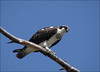 Osprey (Fish Hawk) (pjmaudsley) Tags: freedomtosoarlevel1birdphotosonly freedomtosoarlevel2birdphotosonly freedomtosoarlevel3birdphotosonly freedomtosoarlevel3birdsonly freedomtosoarlevel3birsdonly