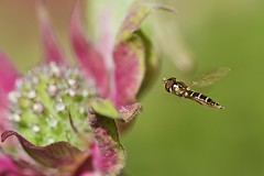 Hoverfly and Beebalm (Blingsister) Tags: marco hoverfly canon100mmf28 canoneos7d blingsister melanieleesonwildlifephotography canon100mmf28andkenkox14
