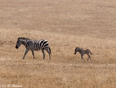 Wait for me mom. [Explored] (Ronda Hamm) Tags: zebra foal baby mom young outdoors california canon 7dmarkii 100400mkii stripes blackandwhite mammal inexplore