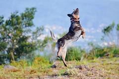 nina (Brenda Morsch) Tags: nikon d7000 australian cattle dog australiancattledog cattledog