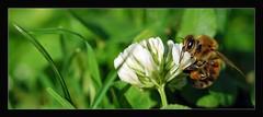 Stadt-Biene (ACIDIRK ;-)) Tags: nikon d7100 sigma15028macro tiere biene blume wiese outdoor draussen natur nature wildlife stadtpark kaiserslautern noflashfired