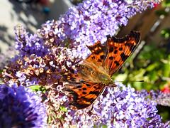 (Lepidoptera: Nymphalidae) Polygonia c-album, Vinbrsfuks / Comma (holgeric77) Tags: karlstad vrmlandsln sweden se lepidoptera nymphalidae polygoniacalbum