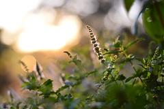(Leela Channer) Tags: mint bokeh light sunset evening glow leaves focus dof green purple orange watermint plant nature france gard