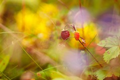 strawberry (olli_loo) Tags: forest forestgifts colorful yummy summer summertime summergifts strawberry nature naturephoto natural delicious 135mm promura promura135 manual manuallens macro manualfocus magic magicforest foodphoto outdoor bright serene