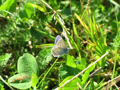 Argus-Bläuling - Plebejus argus (elisabeth.mcghee) Tags: schmetterling butterfly bläuling argusbläuling plebejus argus plebejusargus
