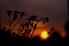 ([gegendasgrau]) Tags: atmo atmosphere ambiance mood stimmung darkness dunkelheit nature natur plants pflanzen ambrosia buds flowers blumen blten bokeh sky himmel clouds wolken evening abend goldenhour sunset sun sonne sonnenuntergang sonnenlicht sunlight light licht colours farben orange 2016