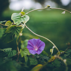 Morning Glory vine with purple flower (Robert Lang Photography) Tags: morninggloryvinewithpurpleflower morning glory vine with purple flower copyspace elegant green grow growing leaf morningglory nature plant pretty square outside outdoors color colourful squarecrop robertlangphotography robertlang robertlangportlincoln robertlangaustralia wwwrobertlangcomau