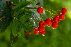 Raindrops - DSC_0184 (John Hickey - fotosbyjohnh) Tags: 2016 august2016 berries nature sorbus rowan cabinteely dublin ireland tree autumn redberries outdoor