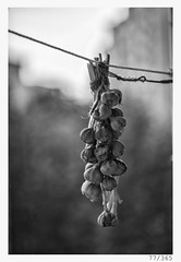 the last garlic (Alja Ani Tuna) Tags: 77 77365 365 35mm 365challenge 365project year string garlic vegetable bw blackandwhite black blackwhite white nikond800 nikkor nikkor85mm naturallight nature nice d800 dailyphoto day onephotoaday onceaday 85mmf18 f18 view drying