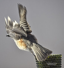 Tufted Titmouse Wings (smileyoakimages) Tags: nature bird tufted titmouse wings flying away outdoors wild