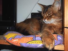 Bigfoot Rags - Explored 30.08.2016, #371 (Finn Frode (DK)) Tags: cats paw nap sleep bed rags dusharatattersandrags somali somalicat som olympus omdem5 animal pet cat indoor