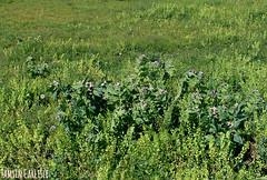 Henbane (tinlight7) Tags: henbane meadow tienshan issykkul kyrgyzstan poisonous taxonomy:kingdom=plantae plantae taxonomy:superphylum=tracheophyta tracheophyta taxonomy:phylum=magnoliophyta magnoliophyta taxonomy:class=magnoliopsida magnoliopsida taxonomy:order=solanales solanales taxonomy:family=solanaceae solanaceae taxonomy:genus=hyoscyamus hyoscyamus taxonomy:species=niger taxonomy:binomial=hyoscyamusniger jusquiamenoire hyoscyamusniger hyonig taxonomy:common=jusquiamenoire taxonomy:common=henbane taxonomy:common=hyonig