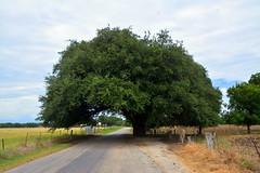 The Wedding Oak (The Old Texan) Tags: oak wedding road nikon texas legend d7100 historical
