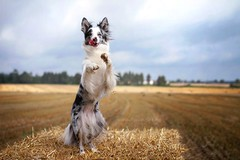 Floey (Martyna Og) Tags: dog dancingdog dancingfloey happydog bluemerle bordercollie cottage village littledoglaughedstories