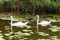 Ballade en amoureux (photos.osmose) Tags: promenade amoureux rivires canal oiseaux cygnes eau rivire