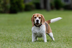 Brody-8748 (Don Burkett) Tags: animal beagle bestfriend brody companion dog hound outdoors pet puppy