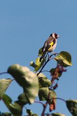 Chardonneret lgant (Bertrand Leclerc) Tags: oiseau chardonneret bird animal