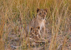 Zambia 2016 (d.vanderperre) Tags: africa zambia lion cub cubs soultluangwapark wildlife bigfive grass